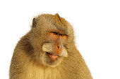 istock Portrait of a Balinese long-tailed monkey (Macaca fascicularis) isolated on white 1289689239