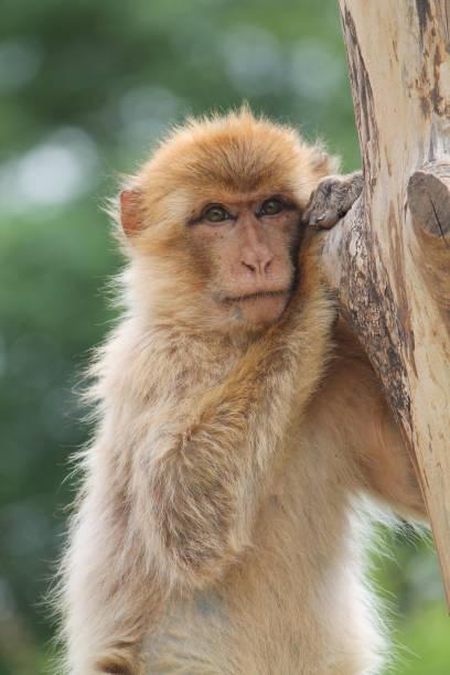 portrait of a barbary macaque monkey - macaco foto e immagini stock