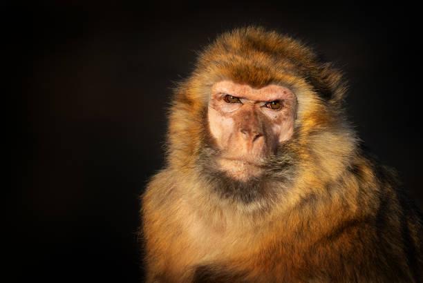 portrait d'un macaque berbère - singe magot photos et images de collection