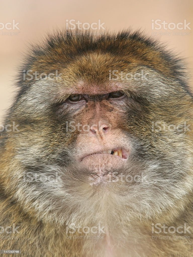 Portrait of a barbary macaque royalty-free stock photo
