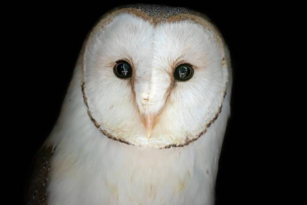 Portrait of a barn owl picture id1090905452?b=1&k=6&m=1090905452&s=612x612&w=0&h=j5ywibbye e hv0agowy sgae1urcx4ipk9qtitfni0=