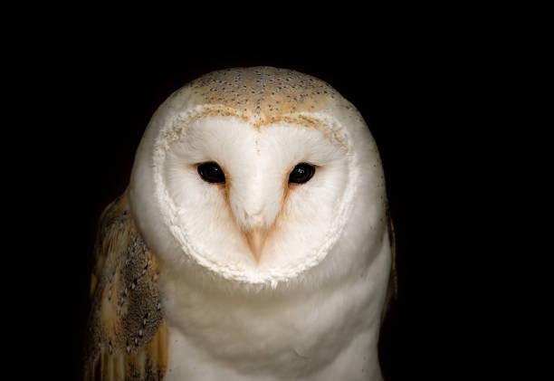 Portrait of a barn owl picture id1153901837?b=1&k=6&m=1153901837&s=612x612&w=0&h=ismeq1vay1vh3tx1xdfsueuekt5doyf9iesh93k1 pc=