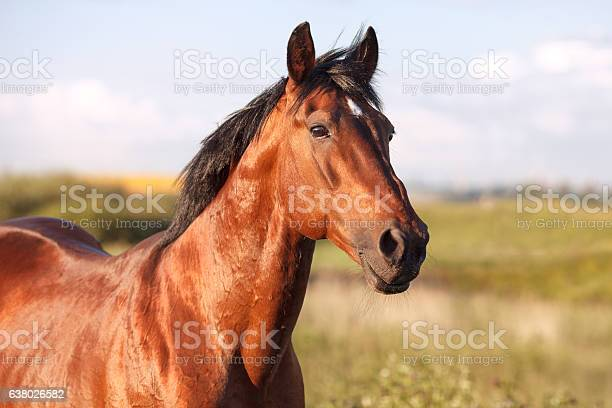 Portrait of a bay horse on background field picture id638026582?b=1&k=6&m=638026582&s=612x612&h=g9tzxyatndlv1mxst 9 qpd3gvjcpkjdeqd5ijlmqlc=