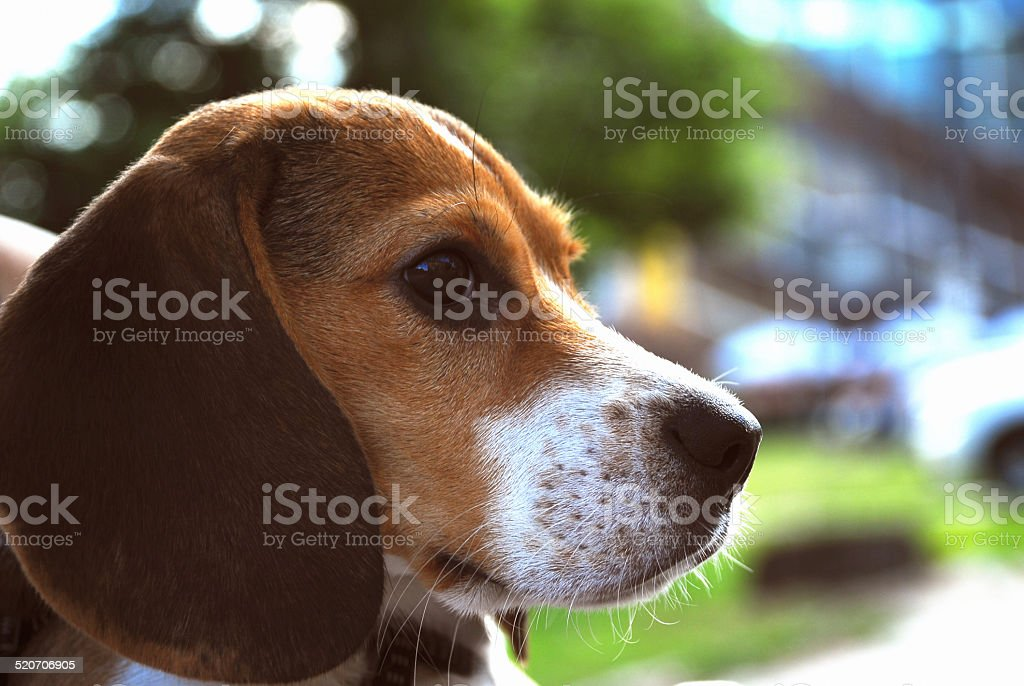 Portrait of a beagle stock photo