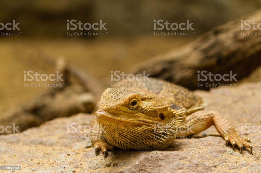 Portrait of a bearded agama. stock photo