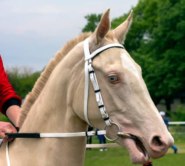 porträt eines schönen akhal-teke pferdes. - akhal teke stock-fotos und bilder