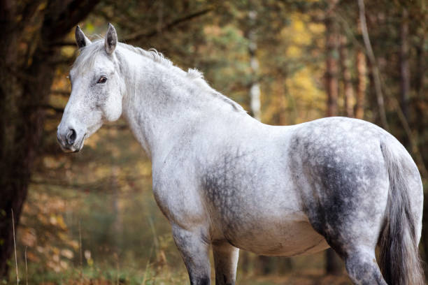Royalty free arabian horse pictures images and stock photos istock - Arabian horse pictures ...