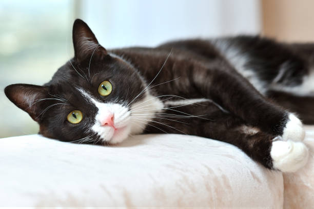 Portrait of a beautiful black and white cat resting on a sofa in a picture id1187643648?b=1&k=6&m=1187643648&s=612x612&w=0&h=no5xl6llt1yp62qojulznvxhu d0kl00nppu1 pi8w0=