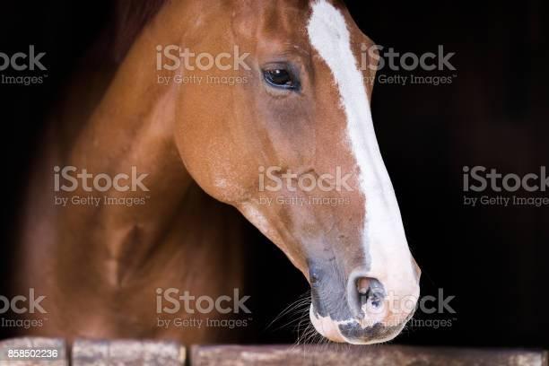 Portrait of a beautiful brown purbred horse picture id858502236?b=1&k=6&m=858502236&s=612x612&h=qejd0wv epz1pazqsjqbzcakkdte6jrfdd eij8m0yy=