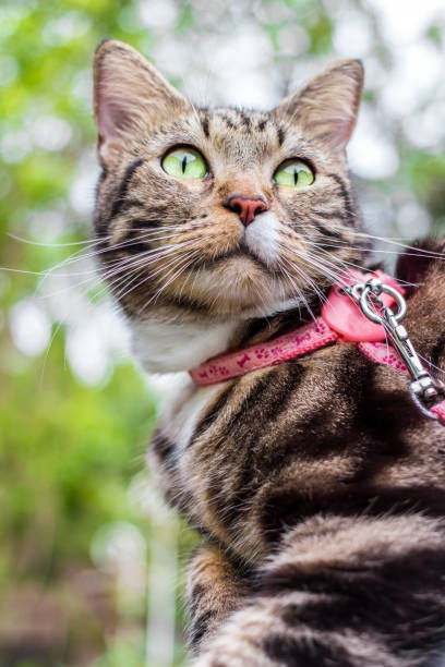 portrait of a beautiful cat on leashes in the summer garden - cat leash stock photos and pictures