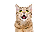 Portrait of a beautiful cat Scottish Straight, closeup, isolated on white background