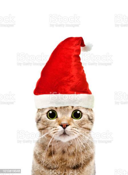 Portrait of a beautiful cat scottish straight in a new years cap picture id1010819348?b=1&k=6&m=1010819348&s=612x612&h=ju2uwayfs3zbkx7wr mhtppw flnxce8aevwfemmvaw=