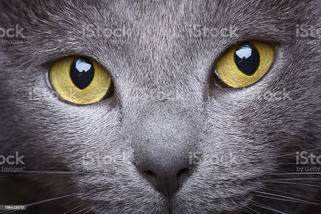 Portrait Of A Beautiful Chartreux Cat Close-up stock photo