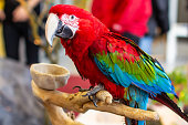 Portrait of a beautiful colorful Ara Scarlet Macaw parrot close up