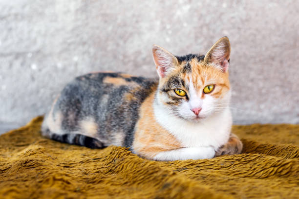 Portrait of a beautiful colorful cat picture id1139783087?b=1&k=6&m=1139783087&s=612x612&w=0&h=xdnbp2llmqhjlwhbyiwxvxate1 8w9uk6absij3h204=