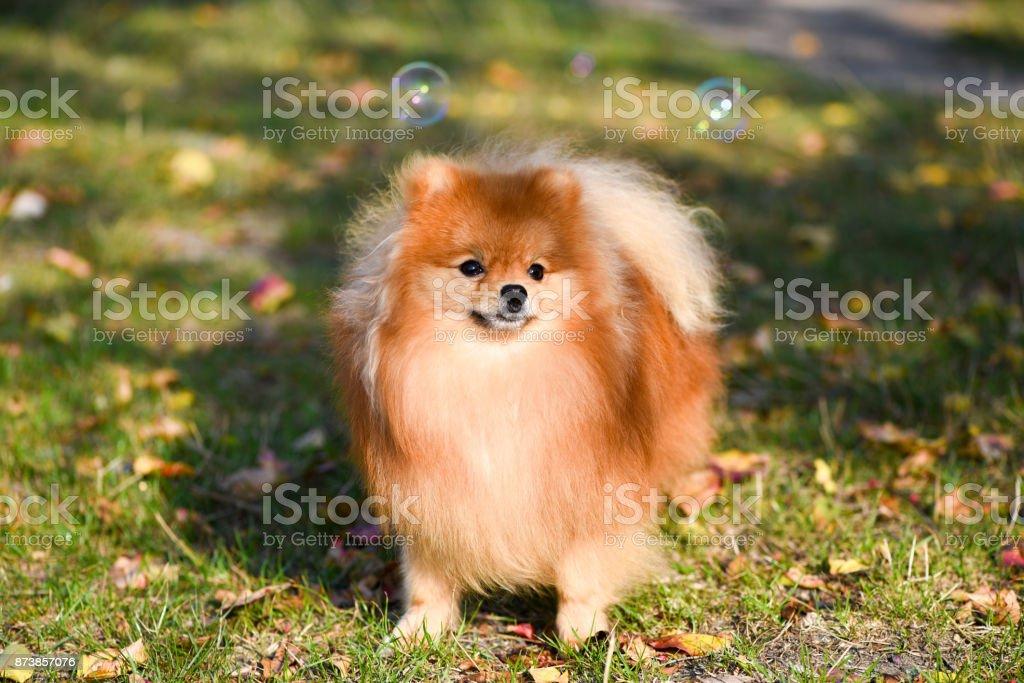 Portrait of a beautiful dog, Pomeranian Spitz stock photo