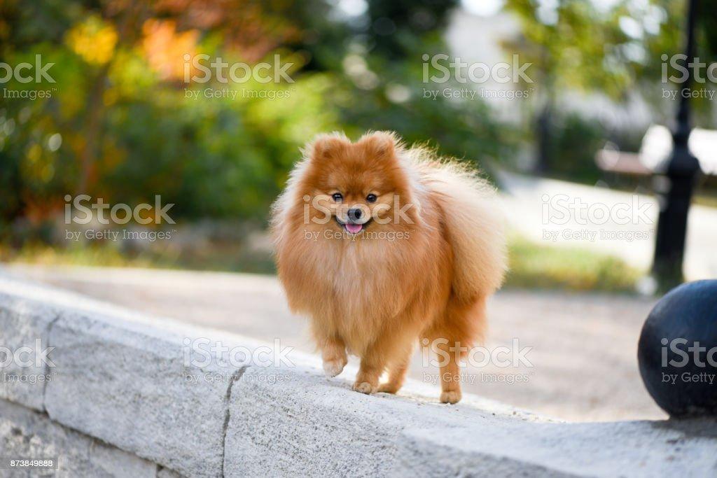 Portrait of a beautiful dog, Pomeranian Spitz, walk through the autumn city. stock photo