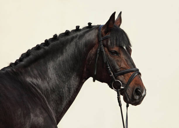 portrait of a beautiful dressage horse - horse bit stock photos and pictures