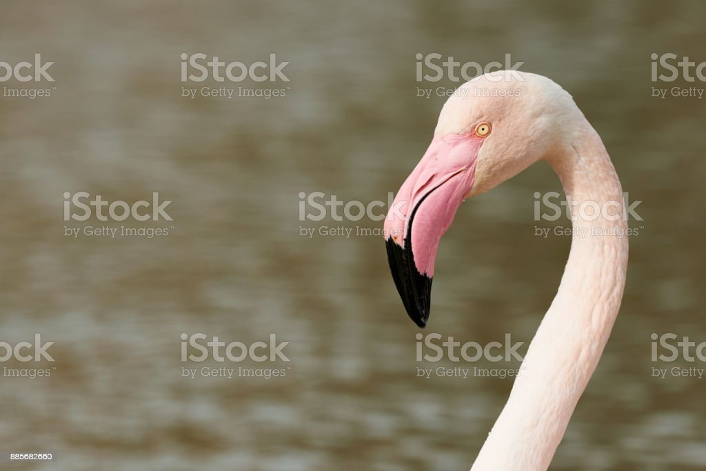 Portrait of a beautiful Flamingo stock photo