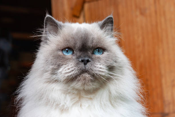 Portrait of a beautiful fluffy cat with blue eyes. Color Blue Color Point stock photo