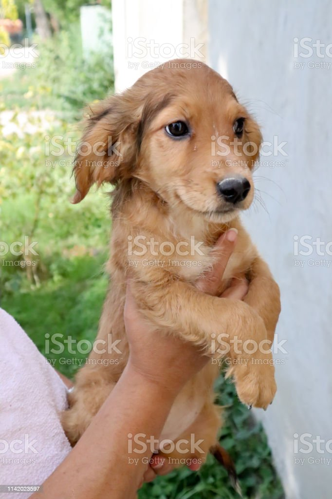Portrait Of A Beautiful Golden Cocker Spaniel Puppy Looking A Side Stock Photo Download Image Now Istock