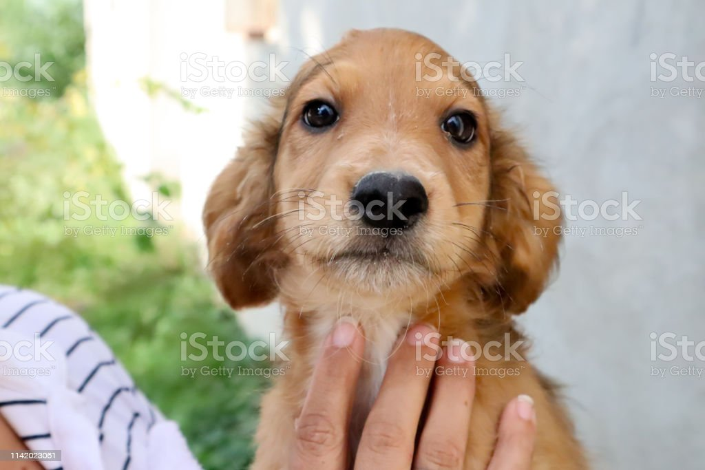 Portrait Of A Beautiful Golden Cocker Spaniel Puppy Looking Right At The Camera Stock Photo Download Image Now Istock