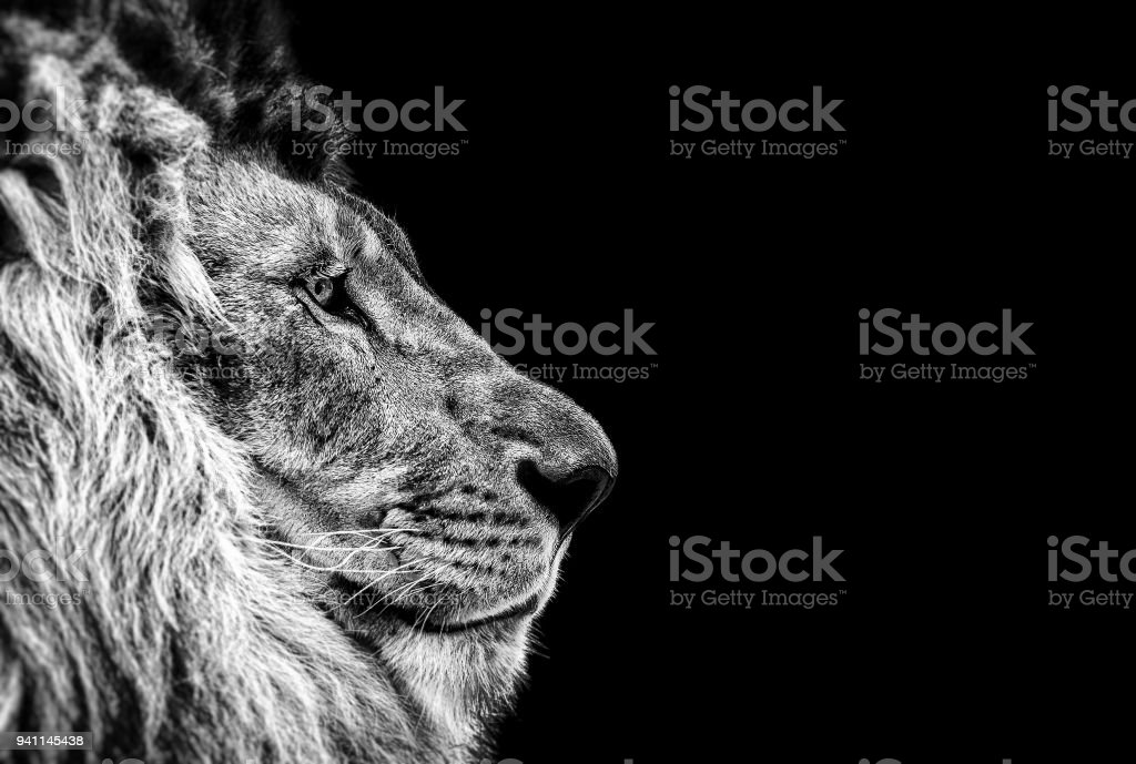 Portrait of a Beautiful lion, Cat in profile, lion in dark stock photo