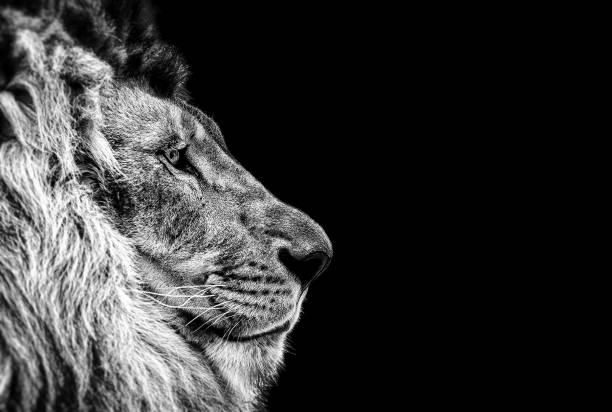 Bir güzel aslan, profil, aslan karanlıkta kedi portresi stok fotoğrafı