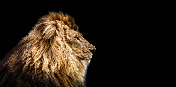 portrait of a beautiful lion, cat in profile, lion in dark - lion stock photos and pictures