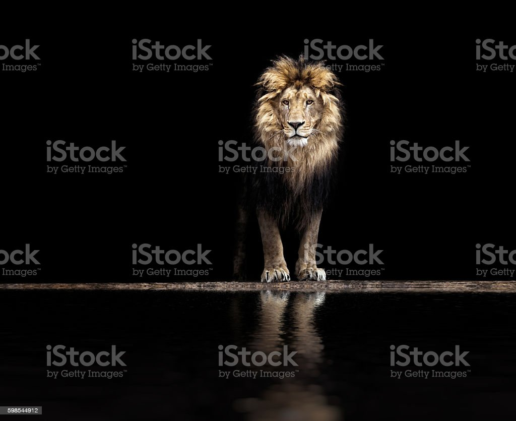 Portrait of a Beautiful lion, lion at waterhole stock photo