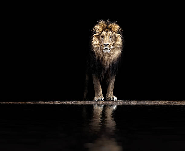 portrait of a beautiful lion, lion at waterhole - leão - fotografias e filmes do acervo