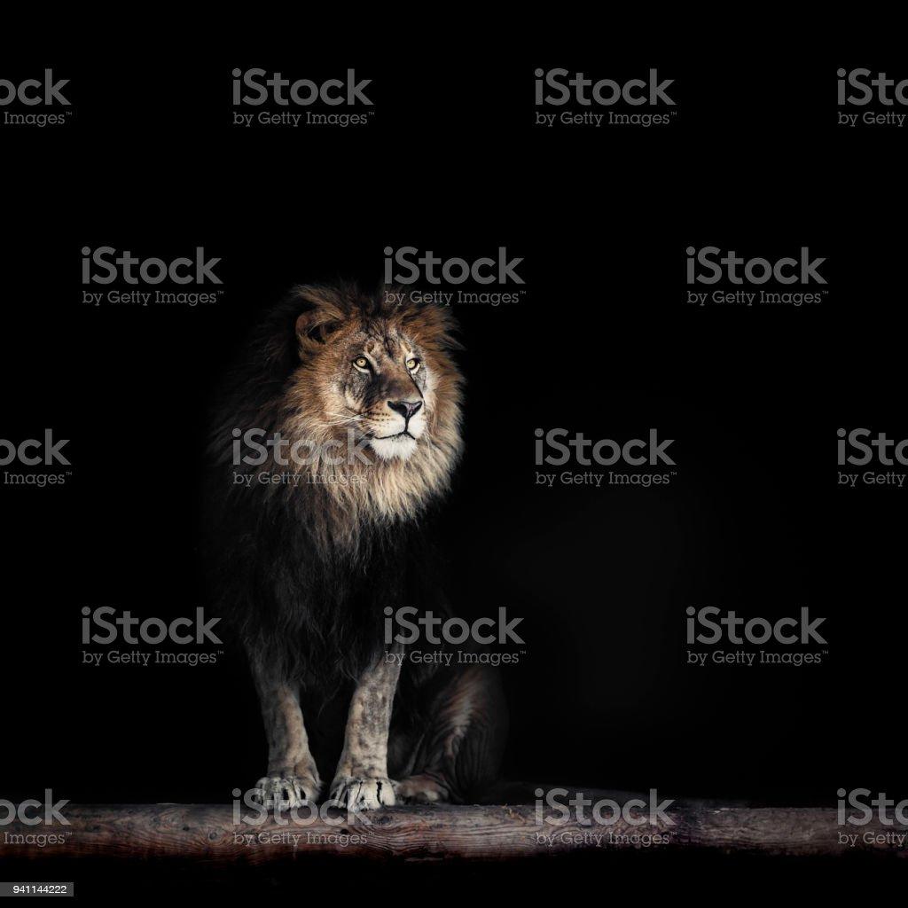 Portrait d'un beau lion, lion dans noir - Photo