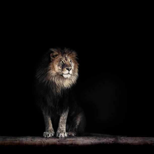 portrait of a beautiful lion, lion in dark - lion stock photos and pictures