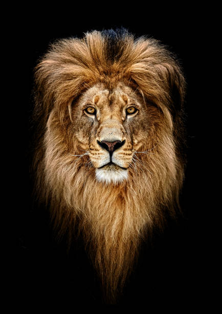 Portrait of a Beautiful lion, lion in dark Portrait of a Beautiful lion, lion in dark Leo stock pictures, royalty-free photos & images