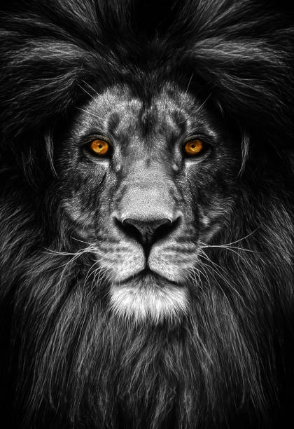 Portrait of a beautiful lion lion in dark picture id942169458?b=1&k=6&m=942169458&s=612x612&w=0&h= wmhoaas7ncpk 6cori1t7jws3ekgrn7q5tv l lkde=