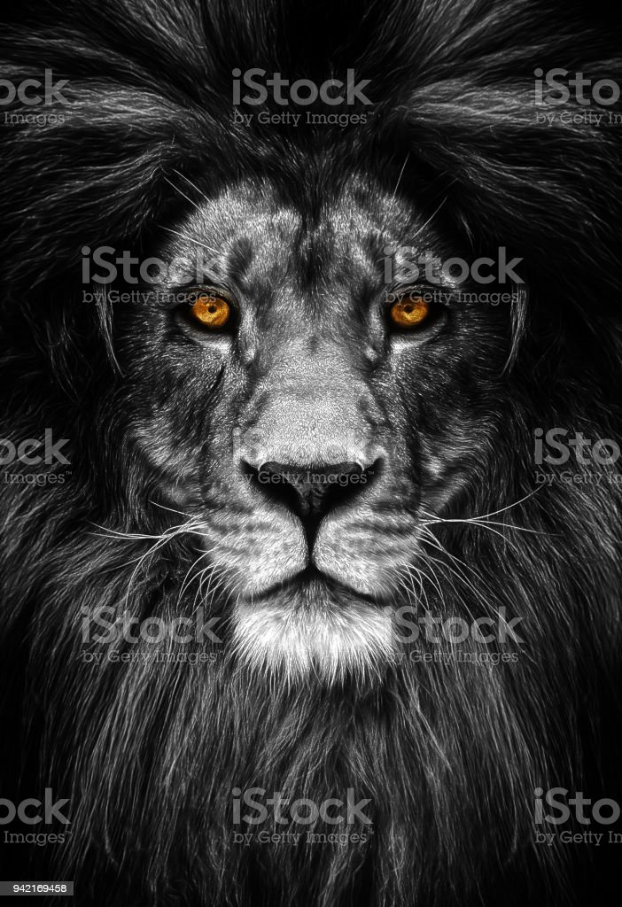 Portrait of a Beautiful lion, lion in dark stock photo