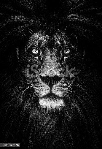 istock Portrait of a Beautiful lion, lion in dark 942169670
