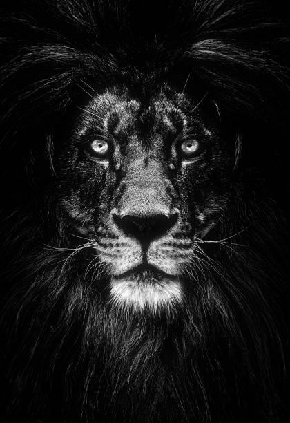 Portrait of a beautiful lion lion in dark picture id942169670?b=1&k=6&m=942169670&s=612x612&w=0&h=6wewsxmzqko cuyqimelgo0bwm7lkqqz0xhmx2 4d0m=