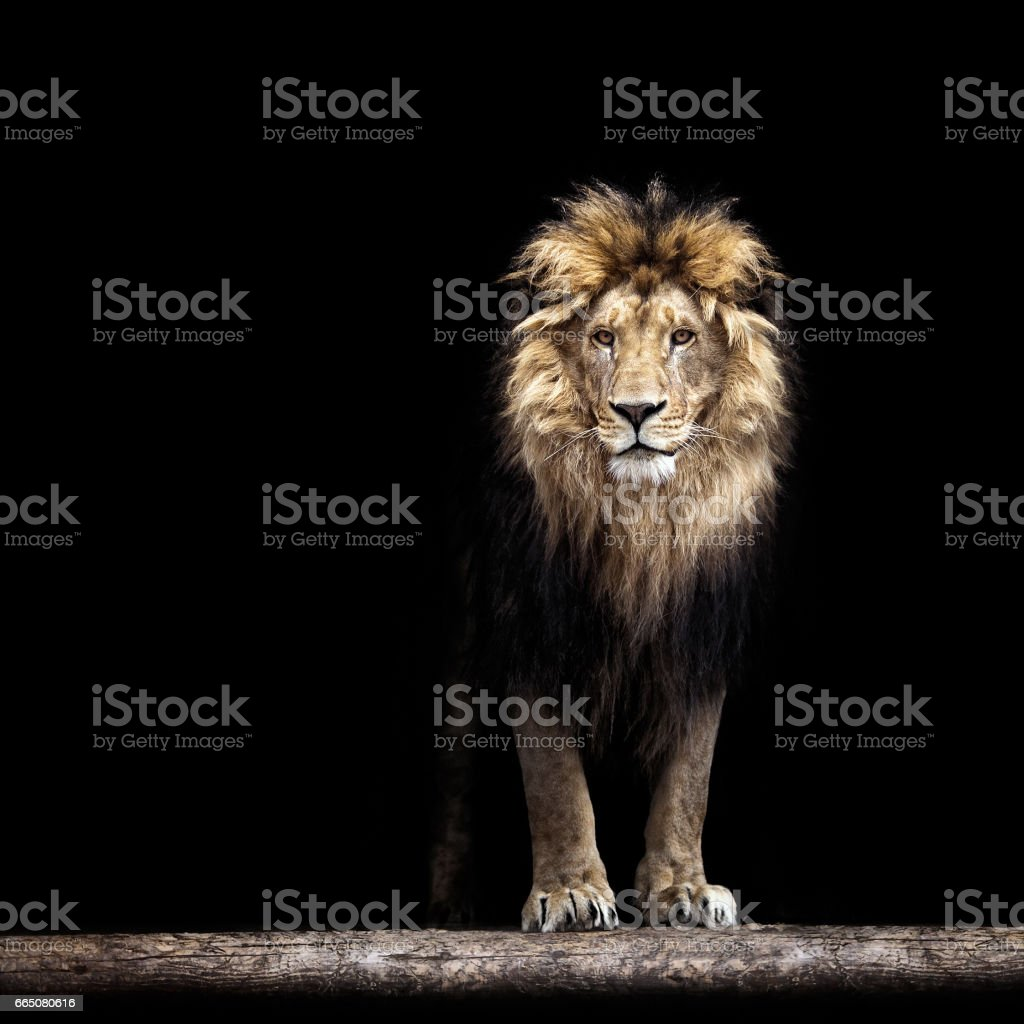 Portrait of a Beautiful lion, lion in the dark stock photo