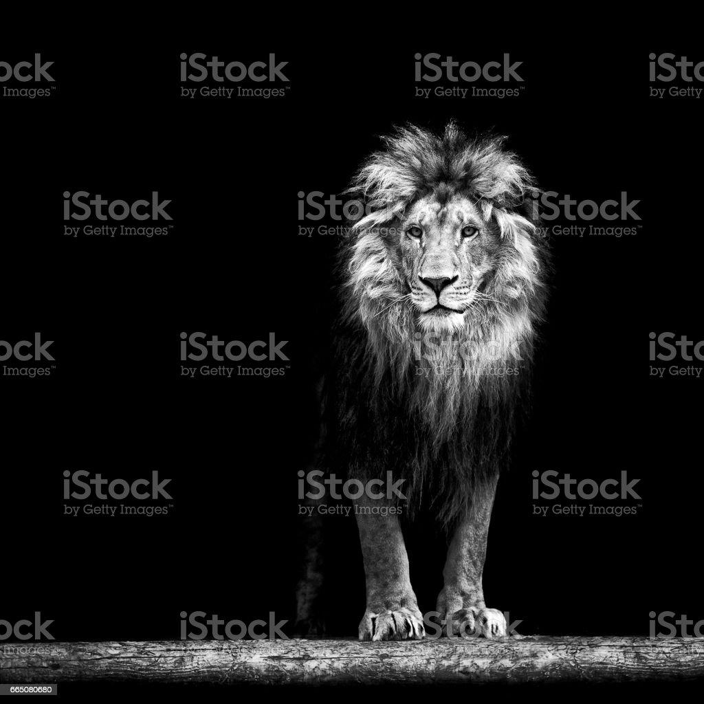 Bir güzel aslan, aslan karanlıkta portresi stok fotoğrafı