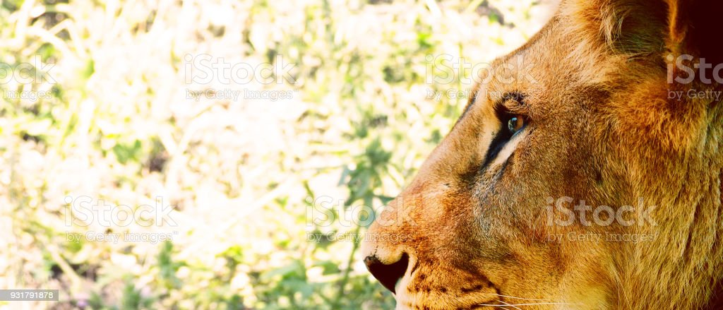 Portrait Of A Beautiful Lion Panthera Leo In Profile Big Cat Lioness