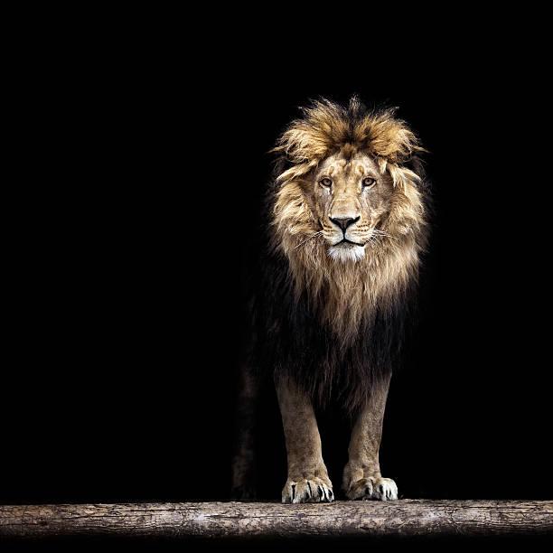 Portrait of a beautiful lion picture id489629846?b=1&k=6&m=489629846&s=612x612&w=0&h=tjexaauou2iehqama0ahsd6ao2j2xdzhjzlum2xxxn8=