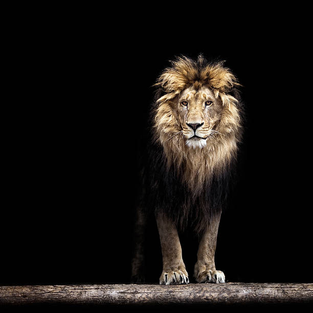 portrait of a beautiful lion - lion stock photos and pictures