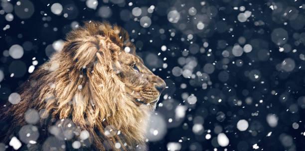 Portrait of a beautiful lion snowfall is coming picture id962786488?b=1&k=6&m=962786488&s=612x612&w=0&h=5s njdo4magkf0u8w65l8m2vyoogxidiinzk2gvjf28=