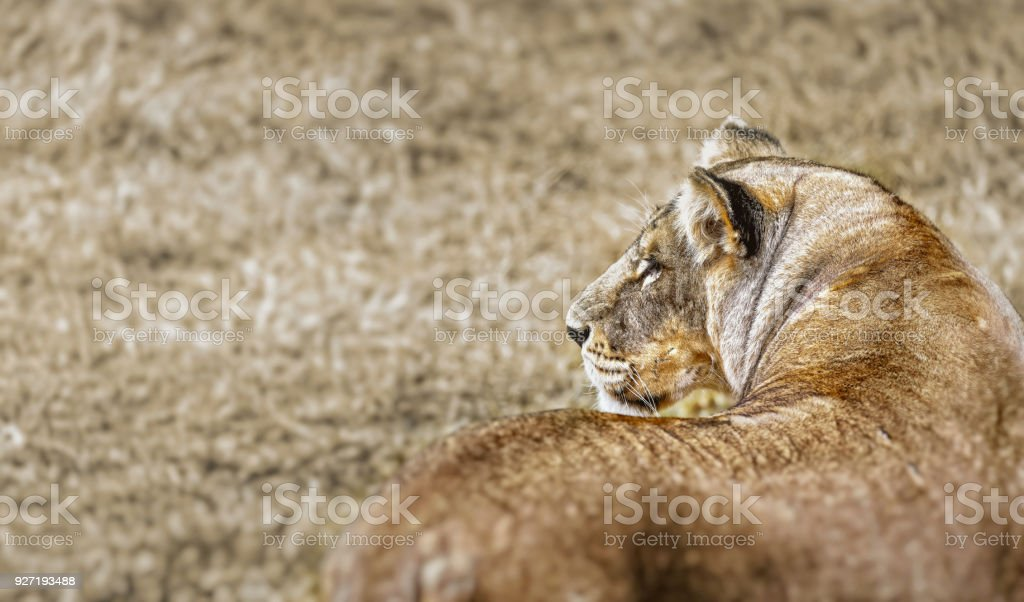 Portrait of a Beautiful lioness, retrospect, profile of the head stock photo