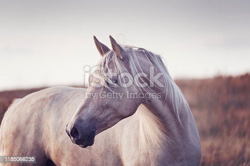 Close up portrait of a four year old Palomino photographed in the late evening light in the island of Møn in Denmark  as the sun sets behind her. Colour horizontal with lots of copy space.