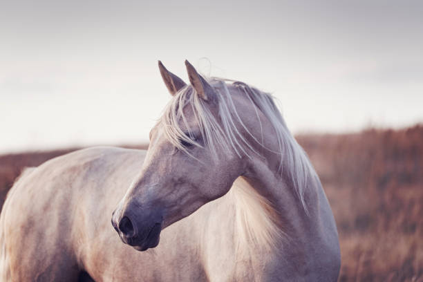 Portrait of a beautiful Palomino horse. Close up portrait of a four year old Palomino photographed in the late evening light in the island of Møn in Denmark  as the sun sets behind her. Colour horizontal with lots of copy space. palomino stock pictures, royalty-free photos & images