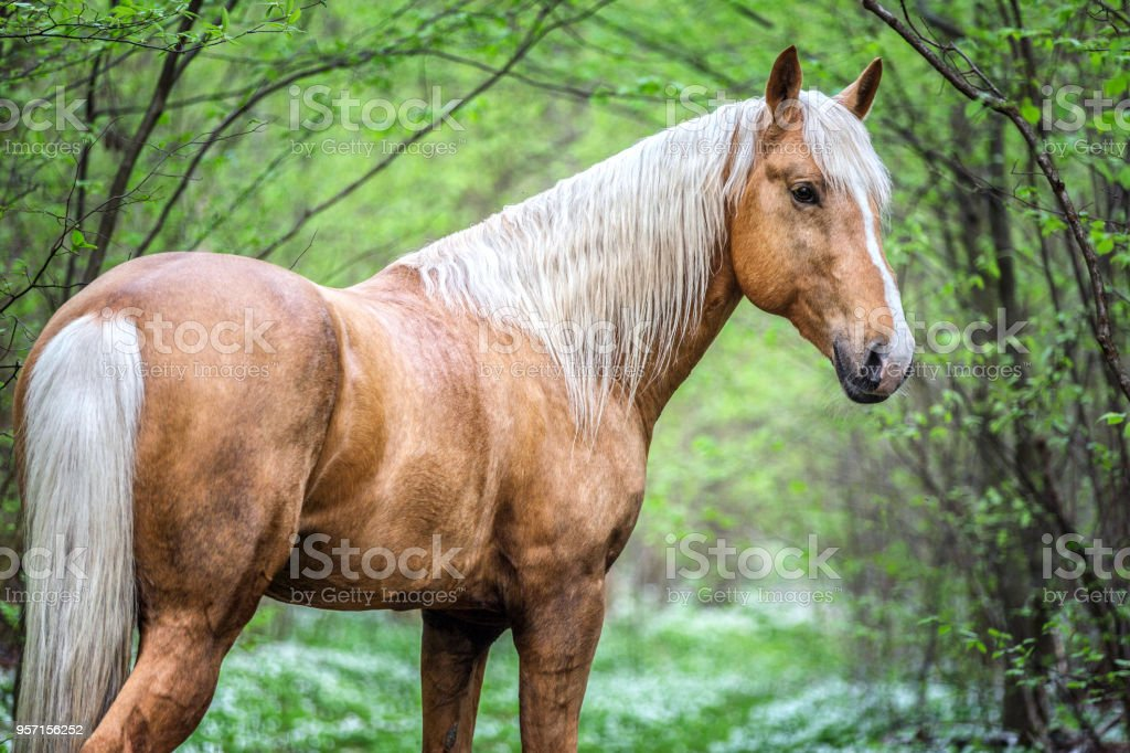 Portrait Of A Beautiful Palomino Stallion Stock Photo Download Image Now Istock
