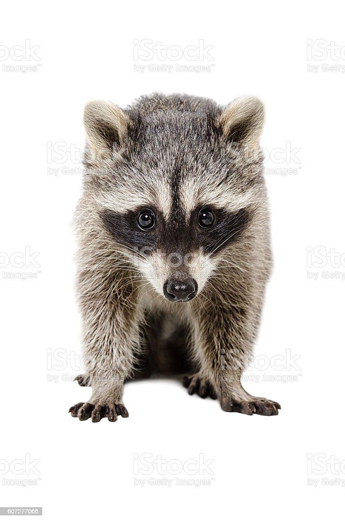 Portrait of a beautiful raccoon stock photo