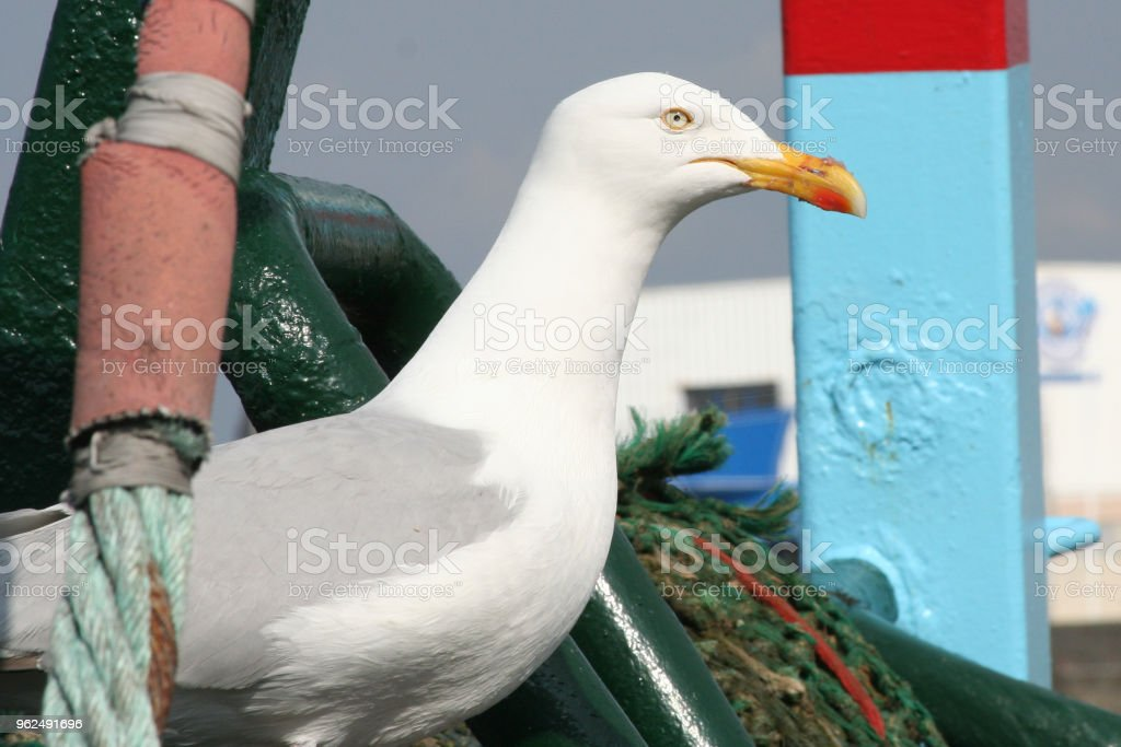 Portrait of a beautiful Seagull - Royalty-free Animal Stock Photo